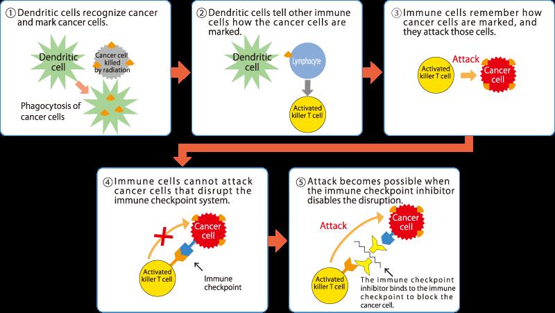 the cancer-killing immune system